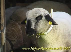 Het ooilam heeft dikke lippen, neusuitvloeiing en overmatige speekselvorming.