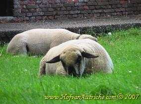 Een typerend beeld van de getroffen schapen die aan de beterende hand zijn. Ze willen weer grazen maar zijn te pijnlijk op de poten om te staan of te lopen. Ze zijn dus liggend aan het grazen.