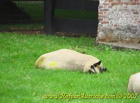 Een beeld dat wij van onze Hampshire's niet kennen: de dieren die aan de beterende hand zijn maar nog wel pijnlijke poten hebben, liggen vaak op hun zij met gestrekte poten en de kop achterover. Schijnbaar om de poten te ontlasten.