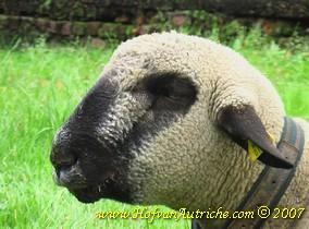 Op de foto's het ramlam dat momenteel op het randje balanceert. Hoe ziek kun je je voelen? Het dier produceert veel slijm en heeft het benauwd. Duidelijk zichtbaar zijn ook de gezwollen lippen en het oedeem tussen de kaaktakken.