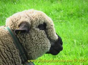 Deze foto laat zien dat de ooi opgezette lippen heeft. Verder is er geen overmatig speekselen of snot te zien. Wel zijn de lippen bij aanraking pijnlijk en eet ze daardoor ook slecht.