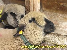 De zieke ooi, waarbij duidelijk zichtbaar de verdikte keel (dit is niet allemaal wol !) en ook de minder gezwollen lippen