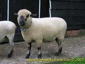Hampshire Down schaap De Keizer